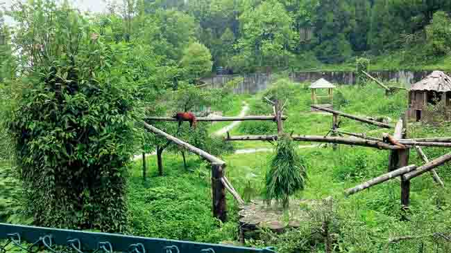 Red Pandas in the Himalayan Zoological Park, near Gangtok
