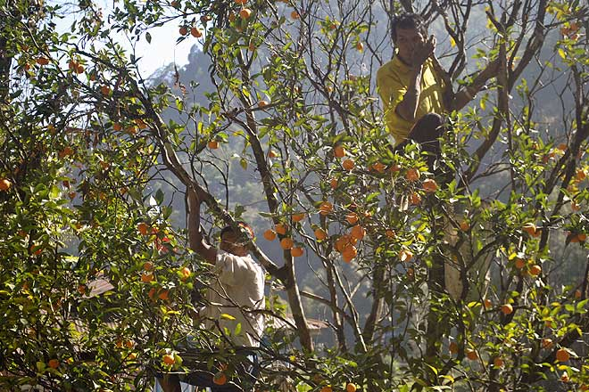 0a5e12fb8 Photos: Sikkim is also known for its sweet oranges - Outlook Traveller
