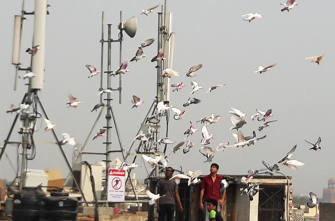 Pigeon tamers, or kabutarbaaz, give their birds a fly-around atop a local terrace