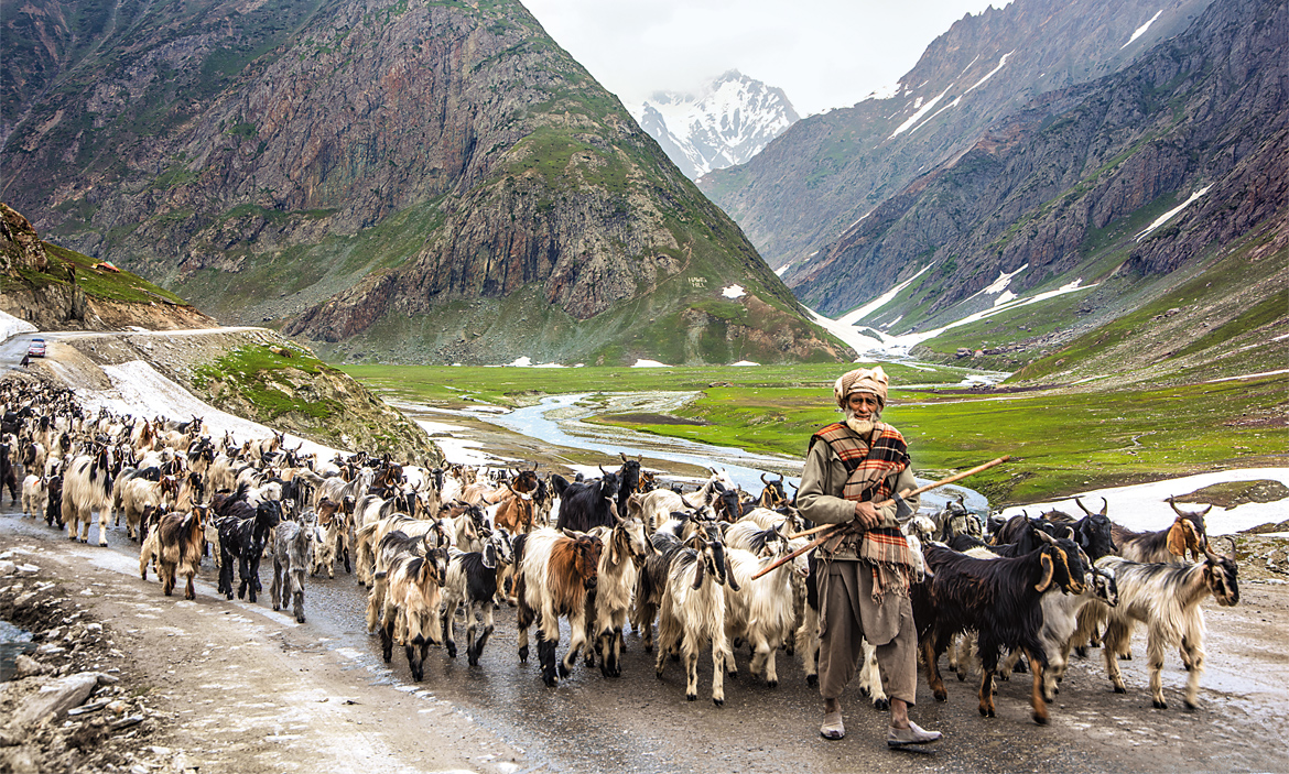 A shepherd leads his flock near Zoji La, Jammu & Kashmir