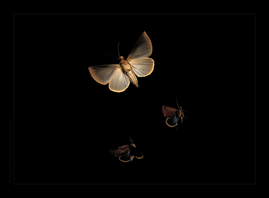 Path of a single moth in flight. Single exposure but flash fired in a few times during the exposure