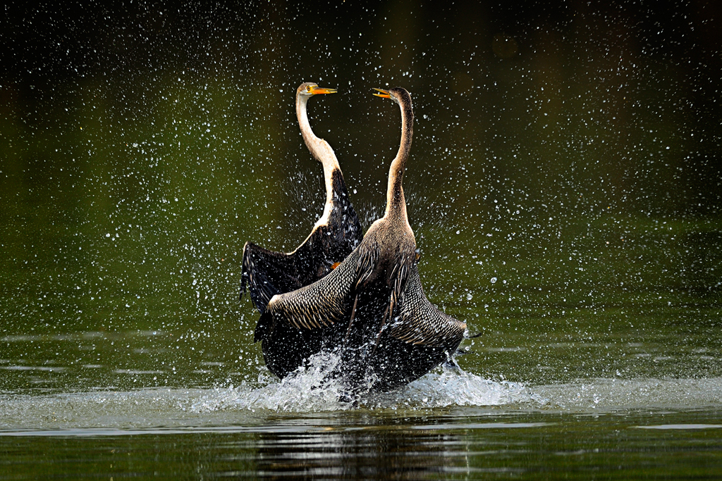 A fight to protect oneÓ³ territory is thrilling to watch in the animal kingdom. This memorable fight was between two Indian darters (Anhinga melanogaster) at the Keoladeo National Park, Bharatpur. On opposite sides of a lake popular among darters for fishing, two were perched on trees and calling out loudly. Suddenly, they both dived and after coming close to each other, started fighting.