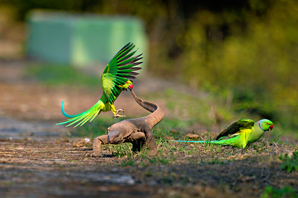 A monitor lizard running for life as a pair of parakeets fiercely attack. While lizards are usually lazy and parakeets keep to themselves, here the birds realised the lizard was after their eggs.