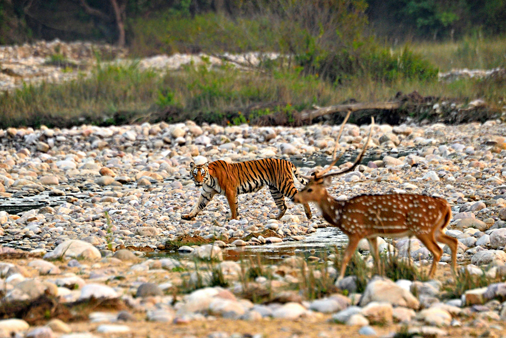 The presence of a tiger (Panthera tigris) is overpowering in a jungle. Shot at the Jim Corbett National Park, the first tiger walked down the side of a stream. On the other side was a herd of deer. It took a while but this was the moment when a predator and prey looked at each other.