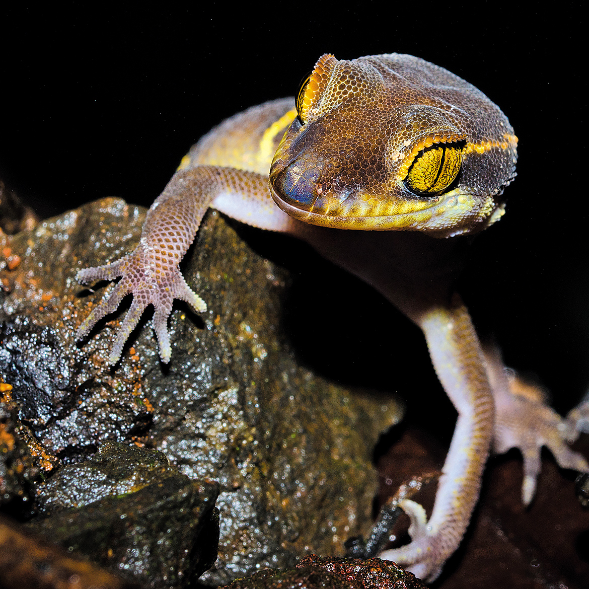 Deccan banded gecko
