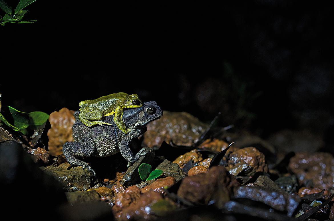 Mating of common Indian toad