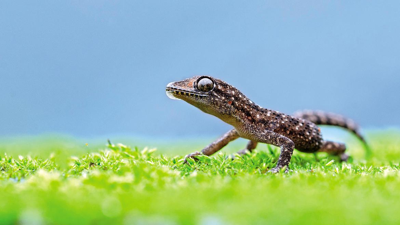 A Brooke's gecko