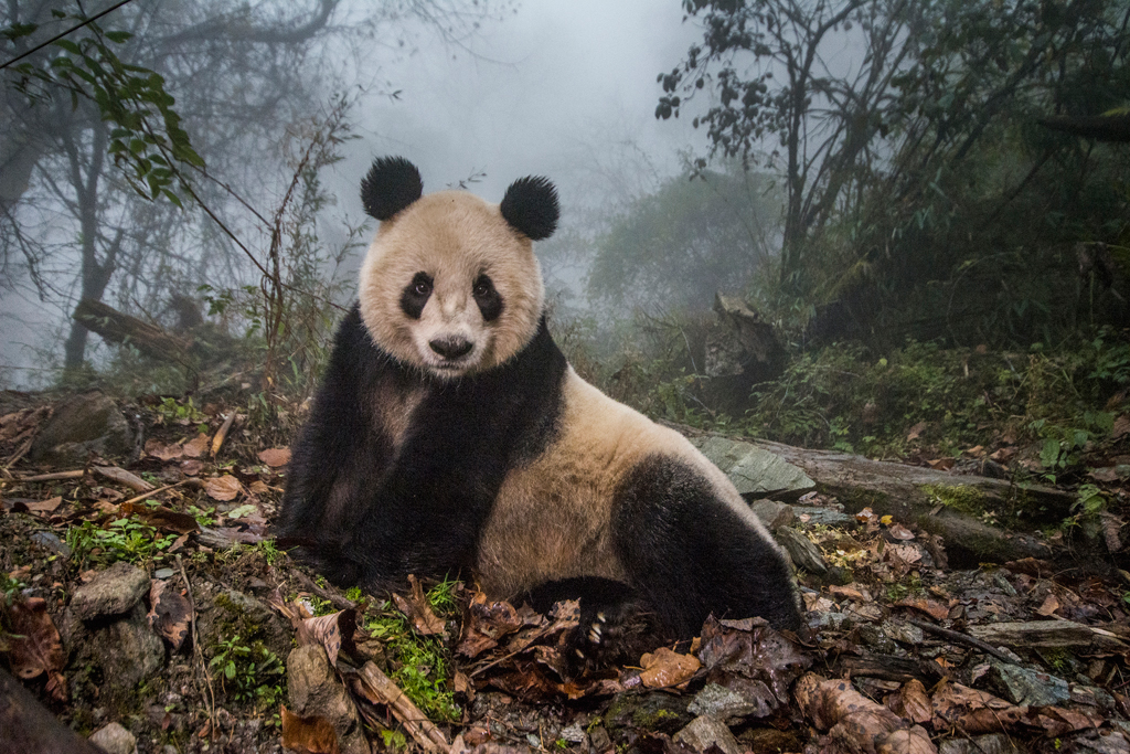 Ye Ye, a 16-year-old giant panda, lounges in a wild enclosure at a conservation center in Wolong Nature Reserve. Her name, whose characters represent Japan and China, celebrates the friendship between the two nations. Ye YeÓ³ cub Hua Yan (Pretty Girl) is being trained for release into the wild.