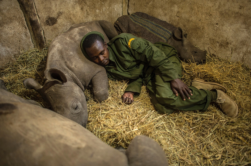 Yusuf, a keeper at the Lewa Wildlife Conservancy sleeps among orphaned baby rhinos at Lewa wildlife conservancy in Kenya.