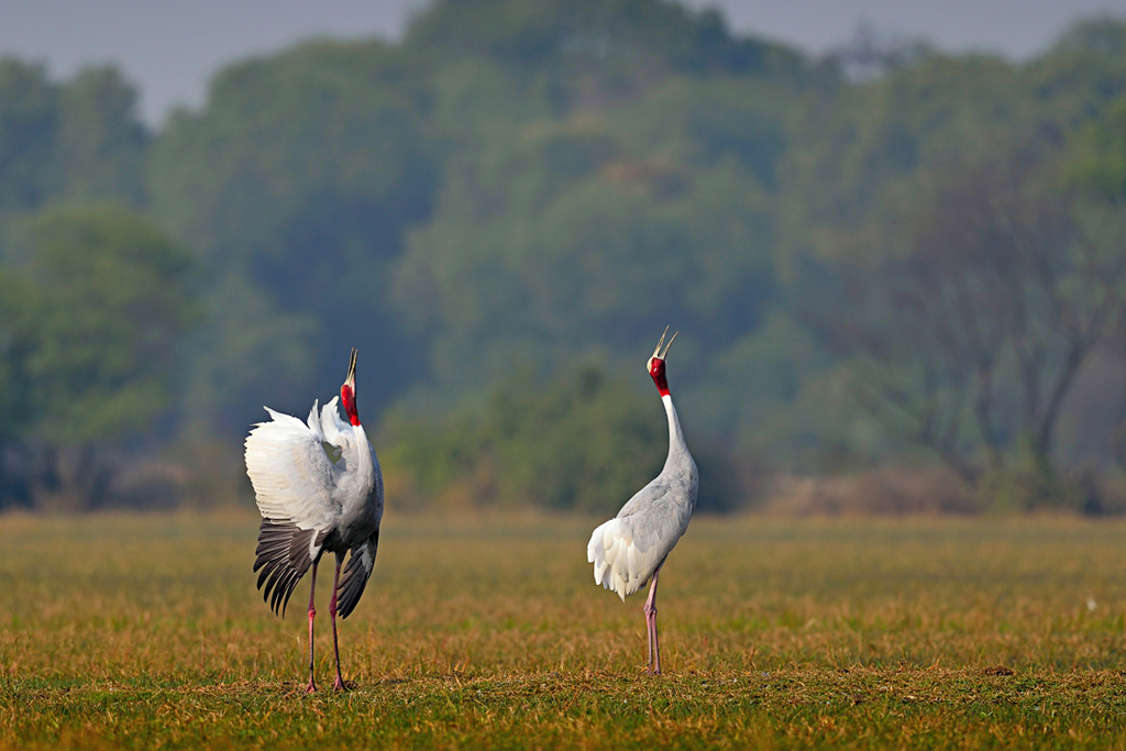 A beautiful shot of Sarus Crane (Grus antigone) in the wild.
