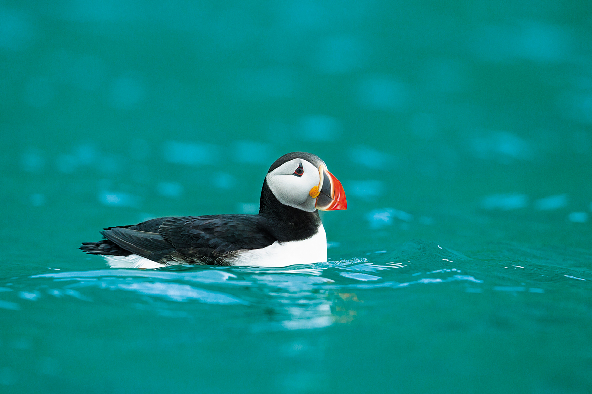 The region is rich in birdlife as well. Seen here is a puffin