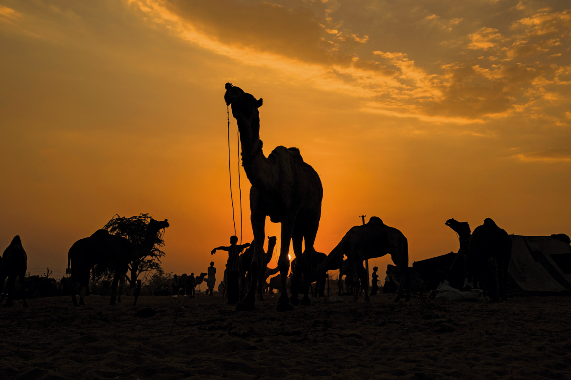 Camels relaxing at sunset after a hard dayÓ³ work.