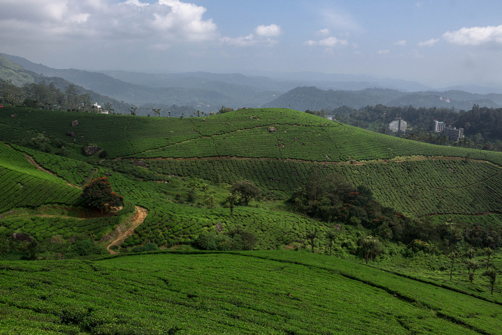 Tea cultivation in Munnar was introduced in the pre Independence era.