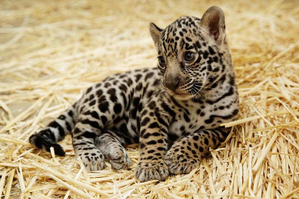 A jaguar cub