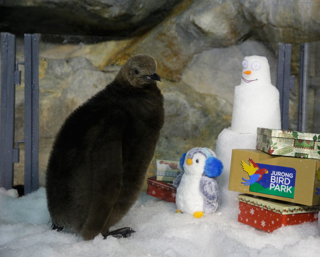 Maru, the king penguin chiclk