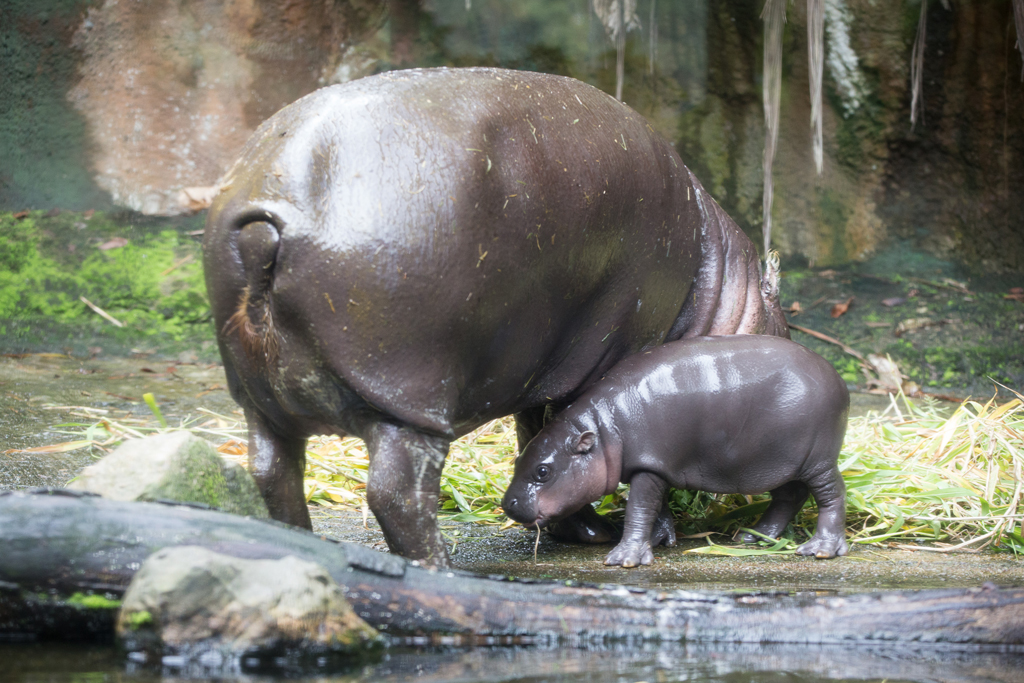 Abina, an endangered baby female pygmy hippo