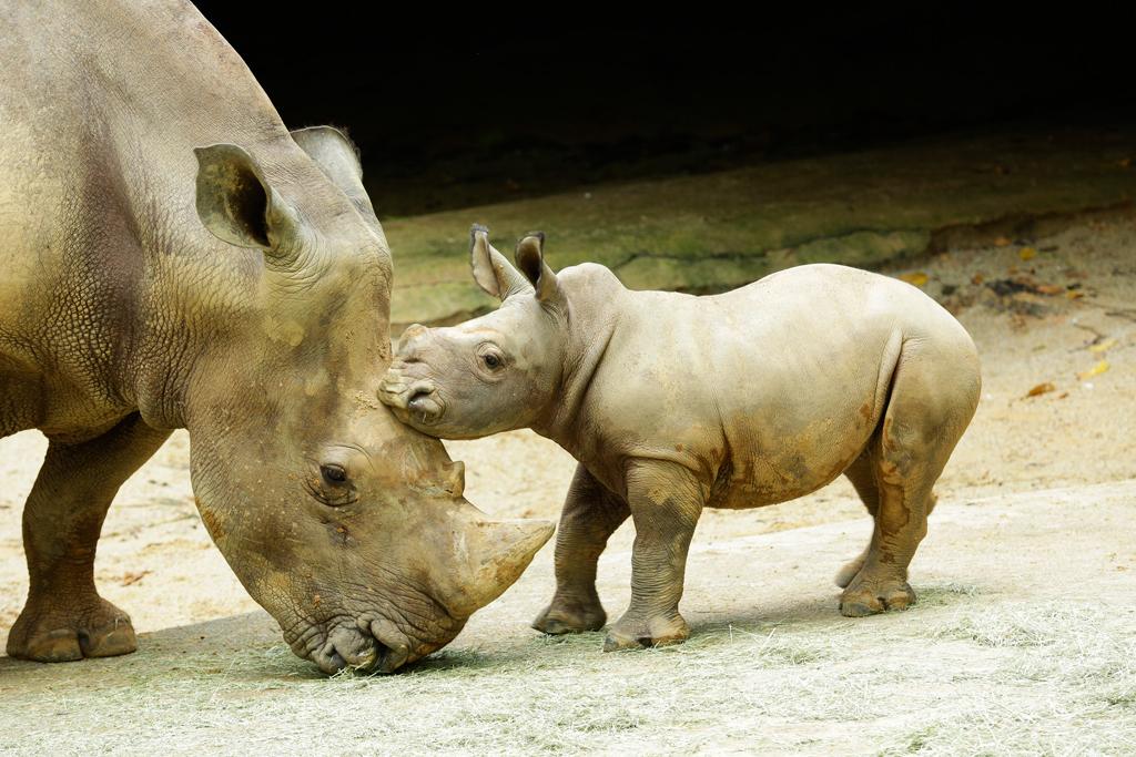 Oban, the white rhino calf