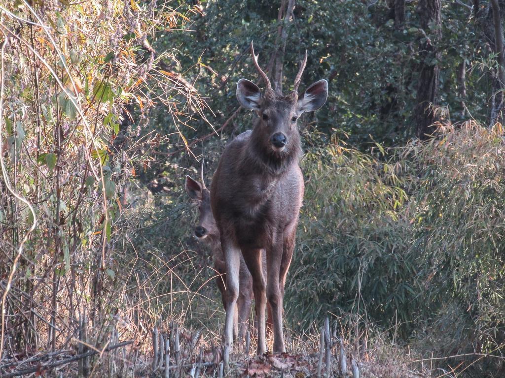 An inquisitive male sambar deer