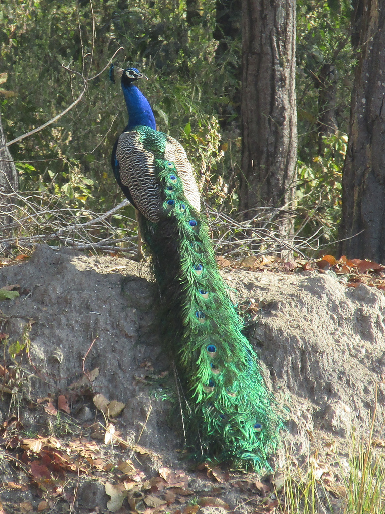 An Indian peafowl sits gracefully