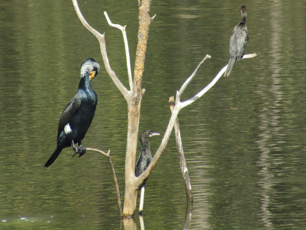 A great cormorant and a couple of little cormorants