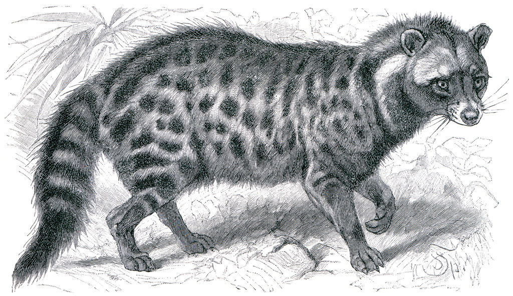 A sketch of Malabar large-spotted civet