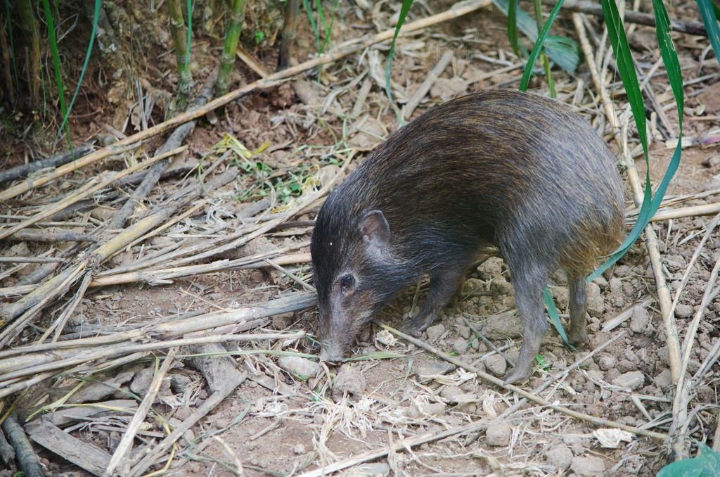 A pygmy hog is endemic to Assam