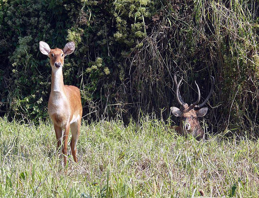 The elusive sangai deer
