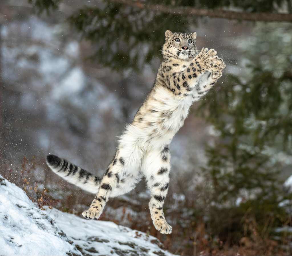 Snow leopards are spotted in lower altitudes thanks to climate change and possibly vanishing food ecosystems