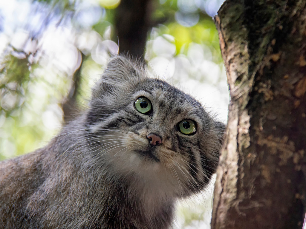 Surveys have shown the presence of the elusive Pallas's cat in Tso Lhamo