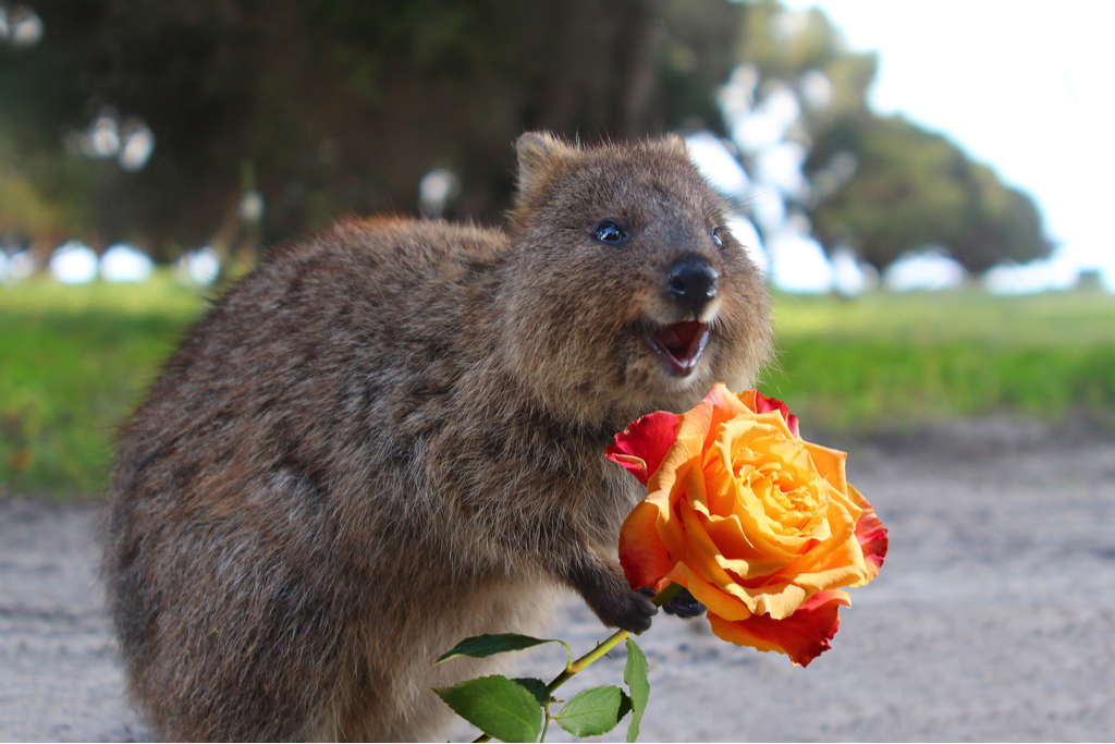 Snap a selfie with the friendliest fauna the quokkas on rottnest ...