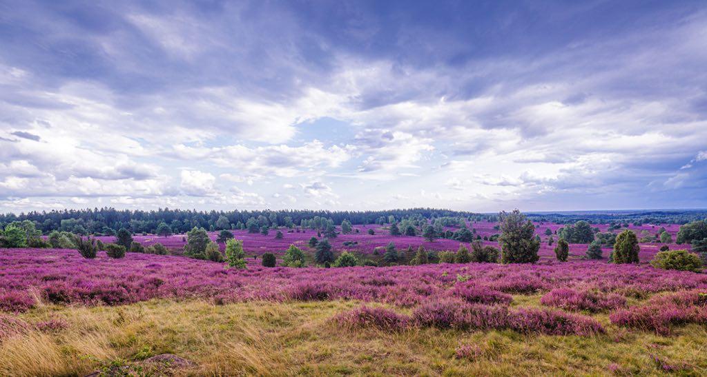 The heath in full bloom