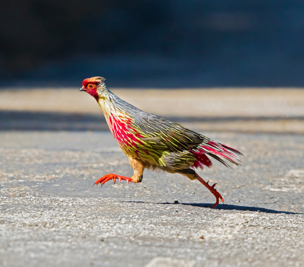 The state bird of Sikkim, the Blood Pheasant