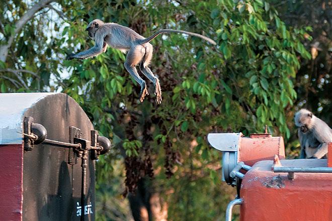 A langur hops aboard the Dabhoi Railway in Gujarat