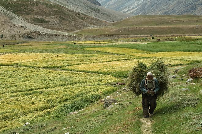 A farmer in Suru valley, the greenest part of Ladakh, dotted with farmlands and pastoral landscapes