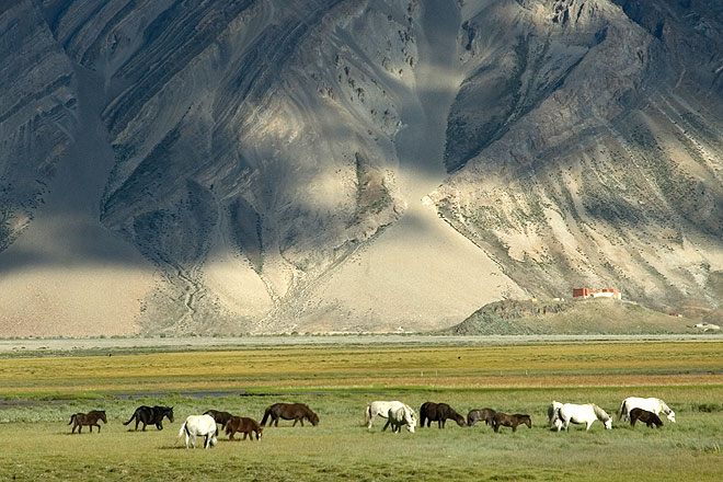 Horses grazing in Rangdum, at the farthest reaches of Suru valley