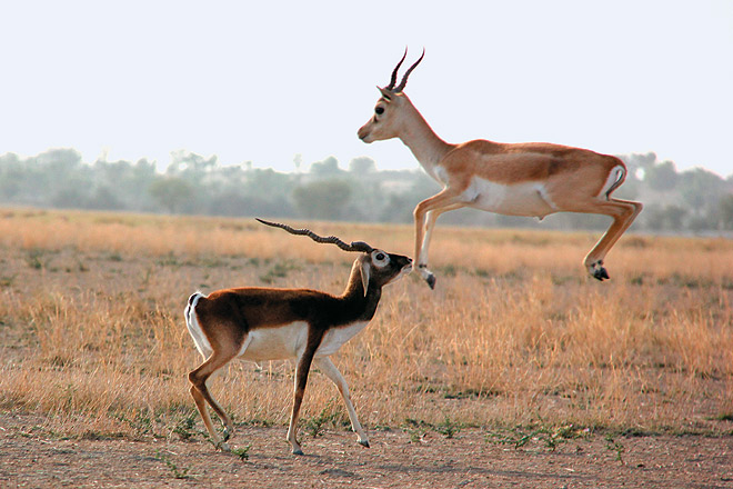 Spot Blackbucks in the sanctuary near Ahmedabad