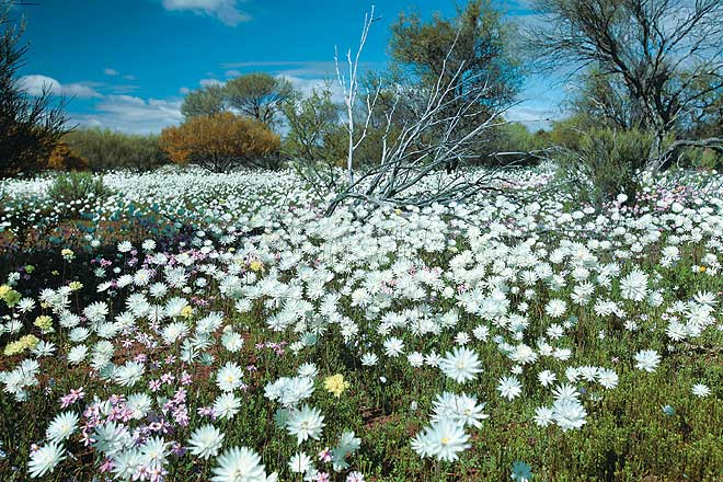 Common everlastings or --paper daisies-- appear after the first heavy winter rains and rush through an accelerated life cycle before dying and leaving behind tough-coated seeds