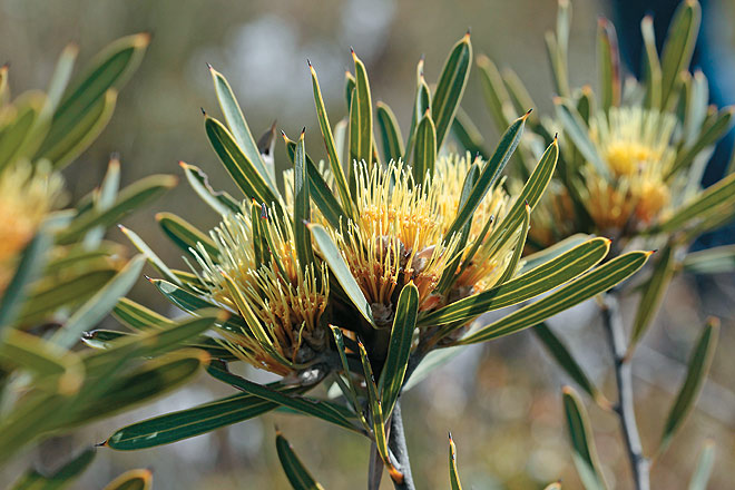 A native Grevillea (of which there are more than 350 species and hundreds of cultivars in Australia) in the heathland near Enneaba
