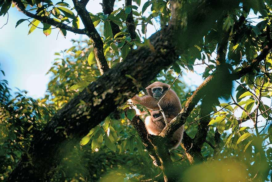 The Hoolock gibbon, India's only ape