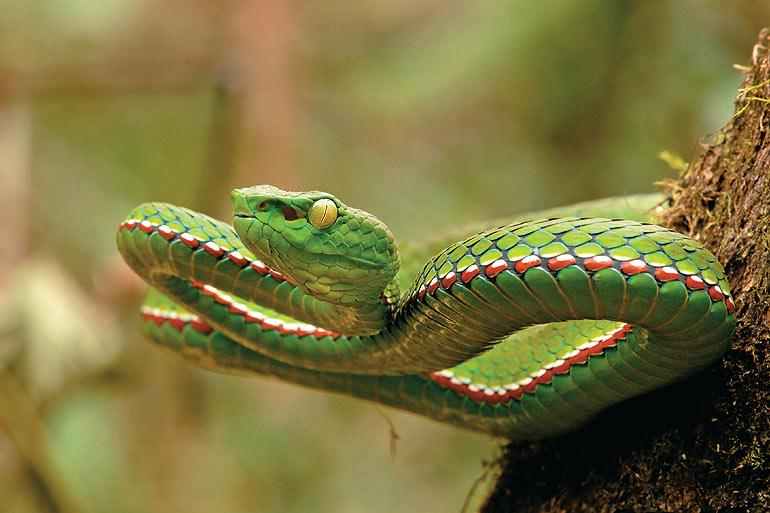 Medo's pit viper, found only in Namdapha within India