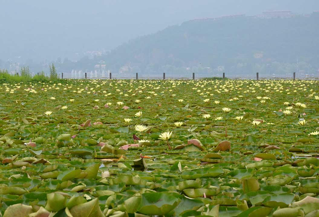 Plants cover a part of Dal Lake