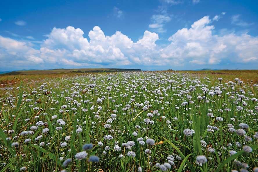 A profusion of gend or tuberous pipewort covers the plateau in season