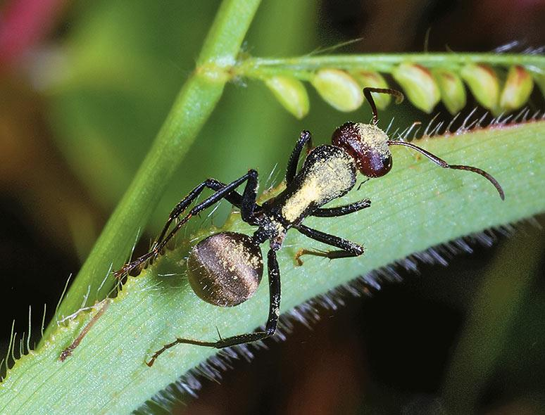 A close-up of the golden-backed ant which thrives in Kaas plateau