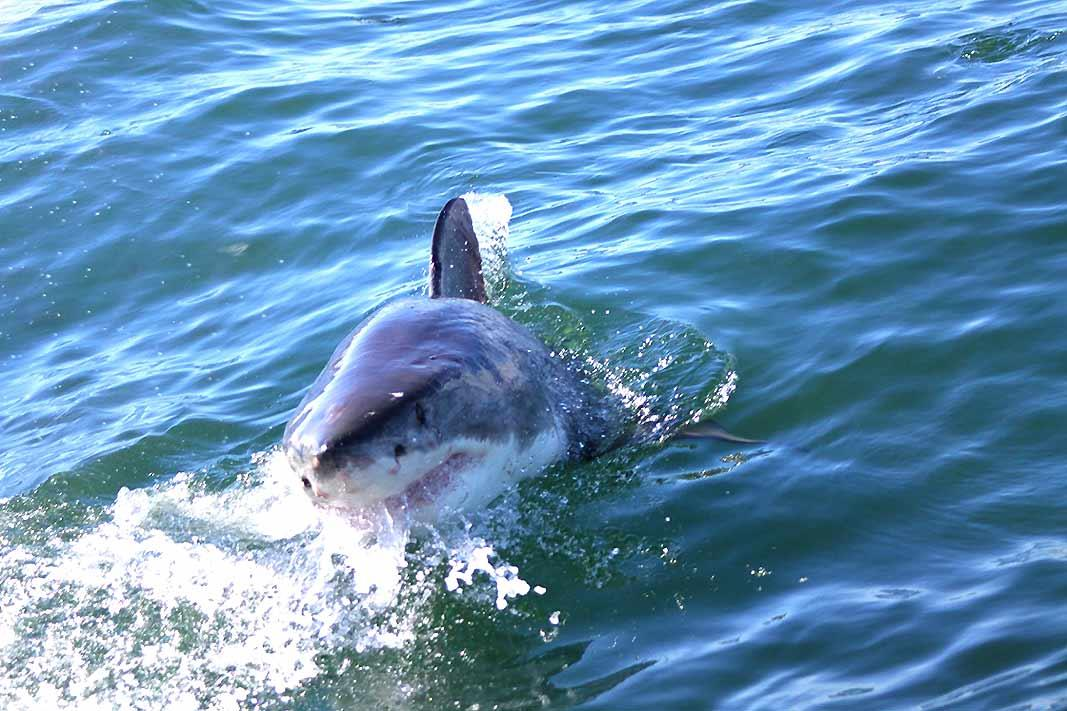 If the lion is the king of the jungle, it's the shark who rules the blue waters of Africa. And Gansbaai (the 'G' is silent while pronouncing), near Cape Town, is one of the best places to see it.