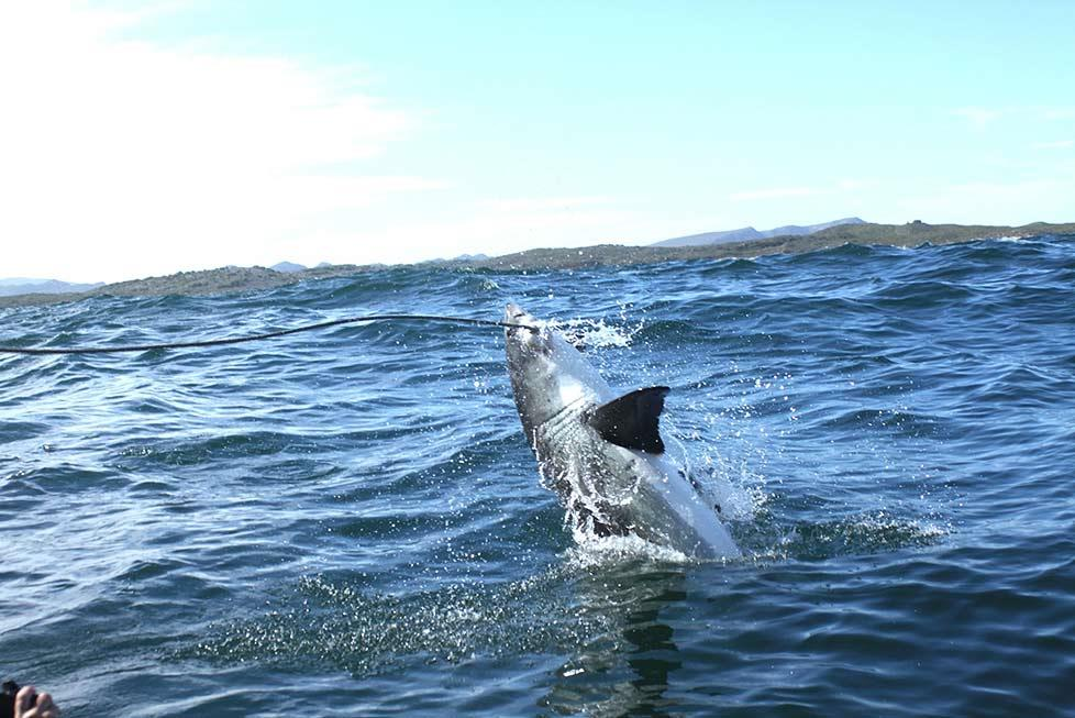 And then they arrive. Steadily, but definitely not slowly. Your tour operator may promise the sighting of over a dozen sharks, but frankly, even one sighting of a Great White is enough to get the excitement level soaring.