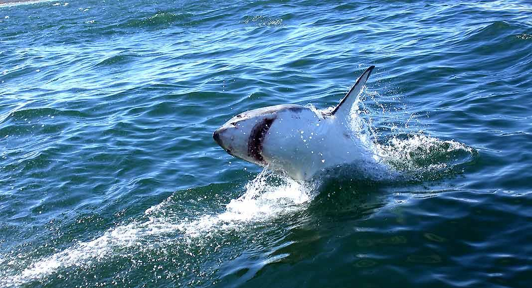 One of the most fascinating creatures in this world, the Great White sharks that you see off the Gansbaai coast can be as big as 10-12 feet in length. Though the world is divided on the issue of shark tourism, the experience is absolutely unparalleled. And it's definitely a much better way to experience 'sharks' than killing them for some soup delicacy!