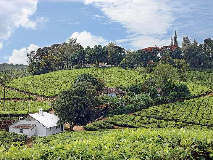 The picturesque Wallardie Tea Estate of Harrisons Malayalam Group produces quality tea with a medium fragrance. (From the book Chai: The Experience of Indian Tea, by Rekha Sarin and Rajan Kapoor; Published by Niyogi Books; Price Rs 1,995)
