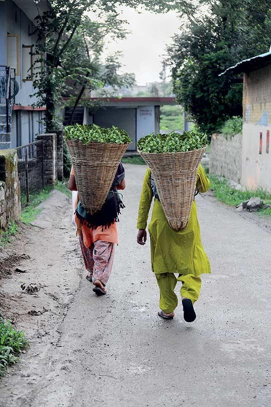 Tea pluckers in Kangra return after a workday. The leaf is sent to the factory co-operatives. (From the book Chai: The Experience of Indian Tea, by Rekha Sarin and Rajan Kapoor; Published by Niyogi Books; Price Rs 1,995)