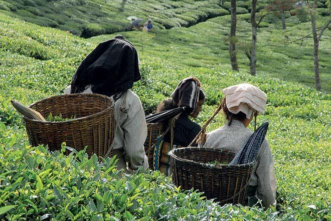 Workers pluck the enigmatic Darjeeling leaf.  (From the book Chai: The Experience of Indian Tea, by Rekha Sarin and Rajan Kapoor; Published by Niyogi Books; Price Rs 1,995)