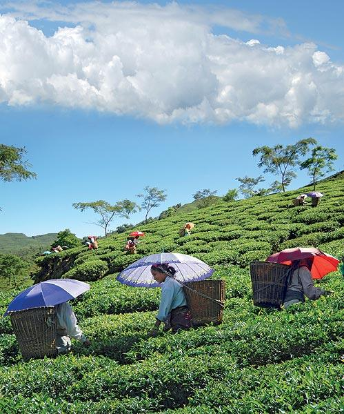 Pluckers navigate the steep terrain under blue summer skies and warm sunshine. (From the book Chai: The Experience of Indian Tea, by Rekha Sarin and Rajan Kapoor; Published by Niyogi Books; Price Rs 1,995)
